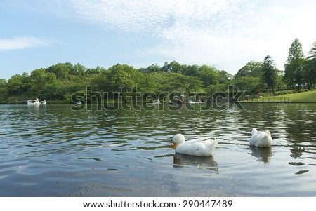 Ducks swim in the lake - stock photo