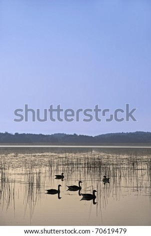 Ducks swimming in a lake with reeds - stock photo