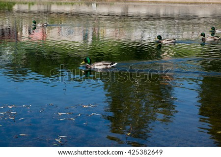 Ducks swimming in urban small lake at summer sunny day.