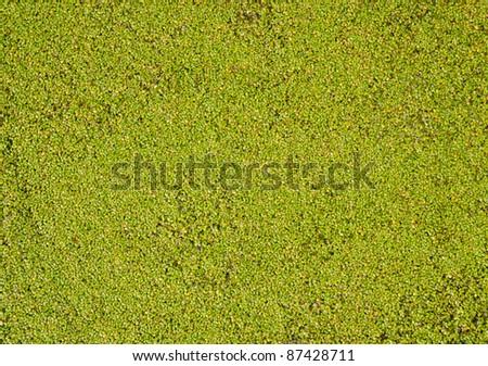 duckweed as background - stock photo
