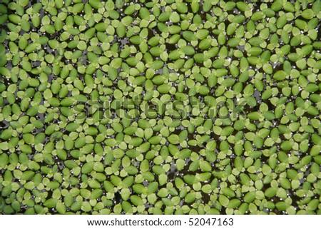 Duckweed background - stock photo