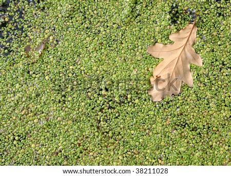 Duckweed background with oak sheet. (Lemna minor) - stock photo