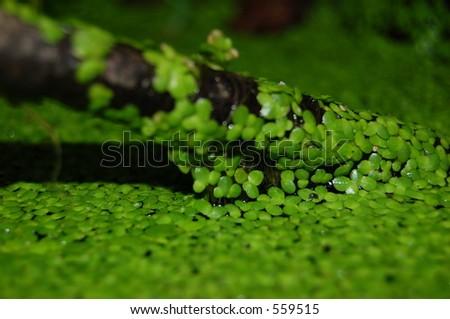 Duckweed on a stick - stock photo