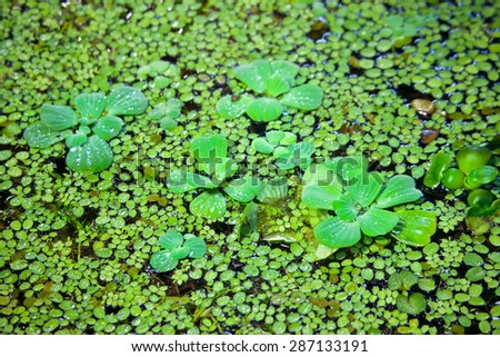 Duckweed with water drops covered on the water surface  - stock photo
