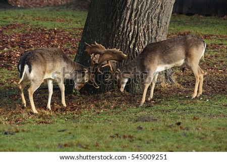 Duel of two fallow deer (Dama dama).