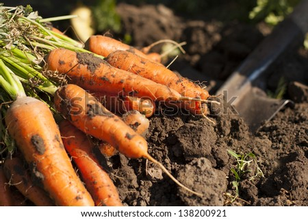 dug out carrots on a ground and digging shovel on a back - stock photo