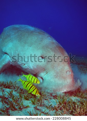 Dugong and pilot jacks at Abu Dabbab, Marsa Alam