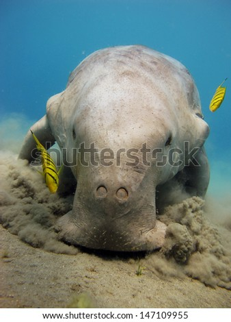 Dugong dugon, juvenile pilot jacks and seagrass - stock photo
