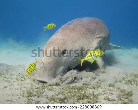 Dugong dugon portrait, Abu Dabbab - stock photo