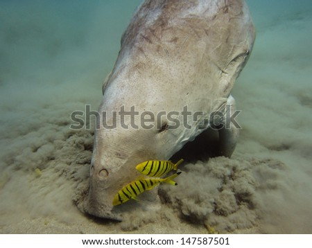 Dugong dugon (Sirenian) and juvenile pilot jacks - stock photo
