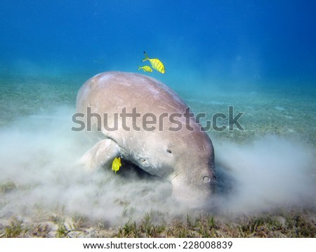 Dugong meal time, with juvenile pilot jacks - stock photo