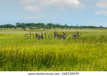 Duiker, St. Lucia. South Africa.  - stock photo