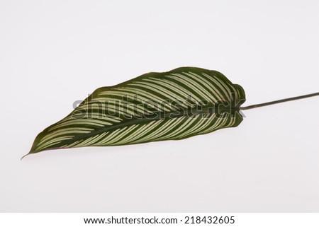 Dumb Cane leaf, background - stock photo