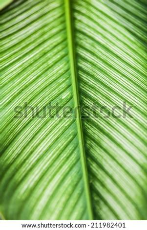 Dumb Cane leaf in garden, background - stock photo