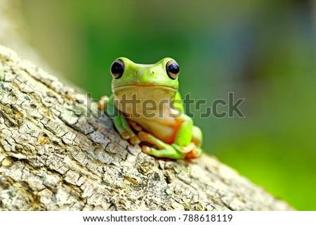 Dumpy Frog, Tree Frog