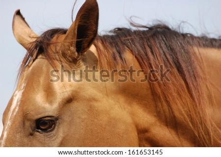 Dun horse eye close up - stock photo