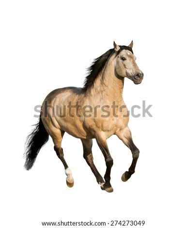 dun lusitano horse isolated on white running - stock photo