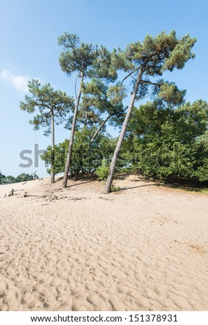Dune landscape in summertime with Scots Pine or Pinus sylvestris trees in the background and hot yellow sand in the foreground. - stock photo