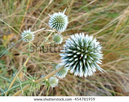 Dune thistle white flowers close up with defocused background - stock photo