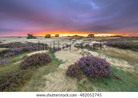 Dunes, Grass and Heathland (Calluna vulgaris) under awe inspiring colorful sunset in a Hoge Veluwe nature reserve in Holland, Europe