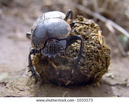Dung Beetle - stock photo