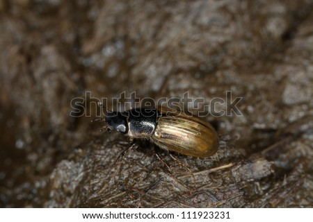 Dung beetle on cowpat, closeup, Sweden