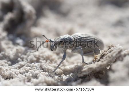 Dung Beetle on Gypsum flat, Cuatro Cienegas, Coahuila, Mexico - stock photo