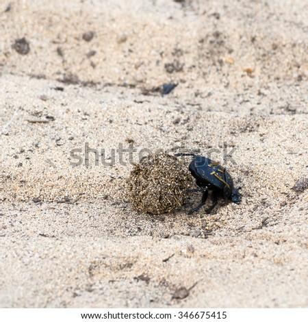 Dung beetle pushes his ball in a steep climb. concept of tenacity and willpower