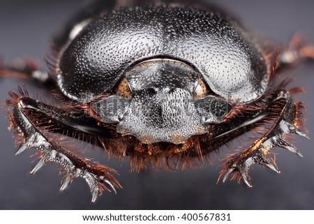 Dung beetle (Scarabeus sacer). Extreme macro - stock photo