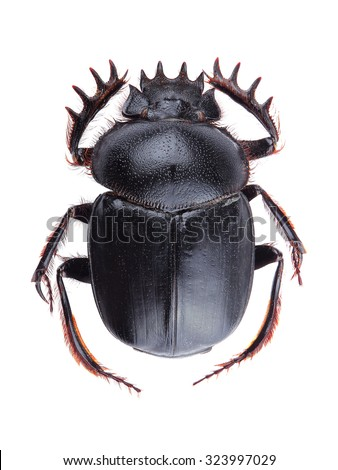 Dung beetle (Scarabeus sacer) isolated on white background - stock photo