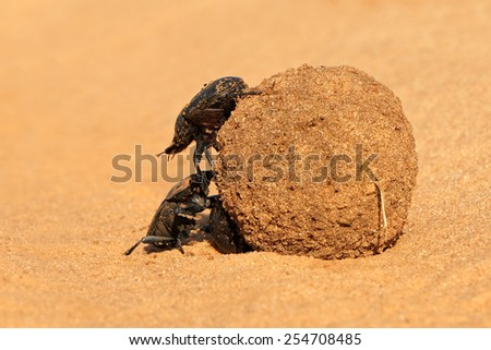Dung beetles rolling their sand covered dung ball, South Africa - stock photo