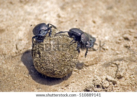 Dung beetles, Selous National Park, Tanzania