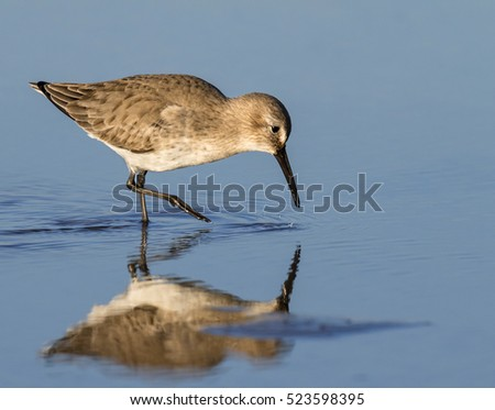 Dunlin (Calidris alpina) in winter plumage feeding at the ocean beach, Galveston, Texas, USA