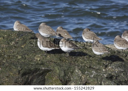 Dunlin Calidris alpina, New Jersey, USA, winter, roost