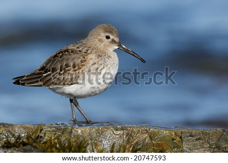 Dunlin (Calidris alpina) posing on rock. - stock photo
