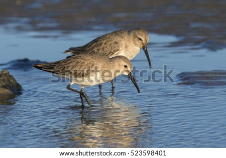 Dunlins (Calidris alpina) in winter plumage feeding at the ocean beach, Galveston, Texas, USA