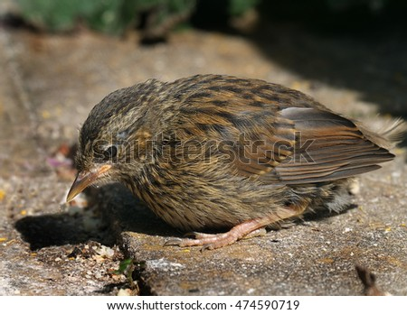 Dunnock, A small brown and grey bird. Quiet and unobtrusive, it is often seen on its own, creeping along the edge of a flower bed or near to a bush