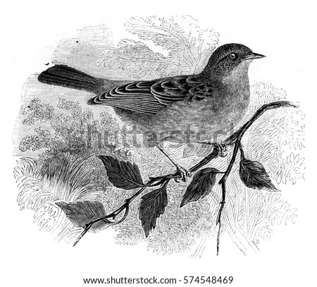 Dunnock, Accentor modularis, vintage engraved illustration. Magasin Pittoresque 1852.