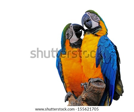 Duo of colorful Macaws displaying their affection for each other. Isolated on a white background with copy space.