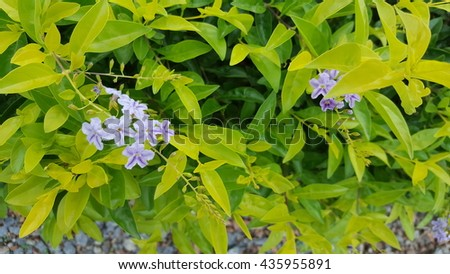 Duranta drdcta with little violet flower.  - stock photo