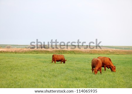 Durham cows grazing in a field of grass - stock photo
