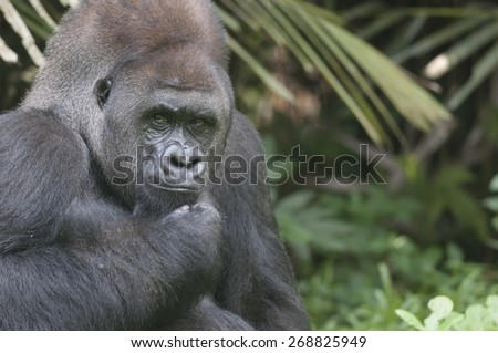 During eating Lowland Silverback is protective
