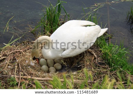 during the hatching of swan on the river Adda - stock photo