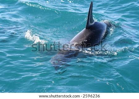 Dusky dolphin swimming - stock photo
