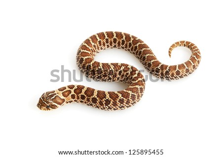 Dusky Hognose Snake (Heterodon nasicus gloydi) isolated on white background.
