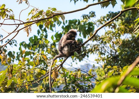 Dusky Langur sitting on tree branch in deep forest - stock photo
