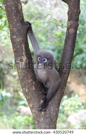 Dusky leaf (Dusky langur; Spectacled langur; or Trachypithecus obscurus) monkey sitting on a tree with one hand grasping a short tree branch. South of Thailand.