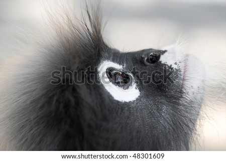 Dusky Leaf Monkey. Ao Manao, Thailand - stock photo