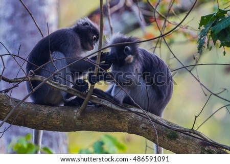 Dusky leaf monkey, Dusky langur, Spectacled langur(Trachypithecus obscurus) cleaning each other in real nature in Thailand