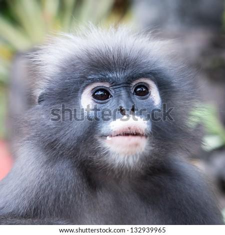 Dusky Leaf Monkey in Thailand - stock photo